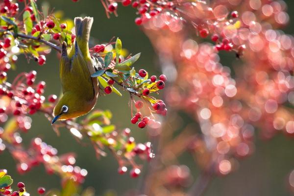 27 марта – день цветения сакуры