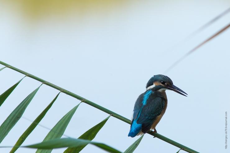 Зимородок птица фото