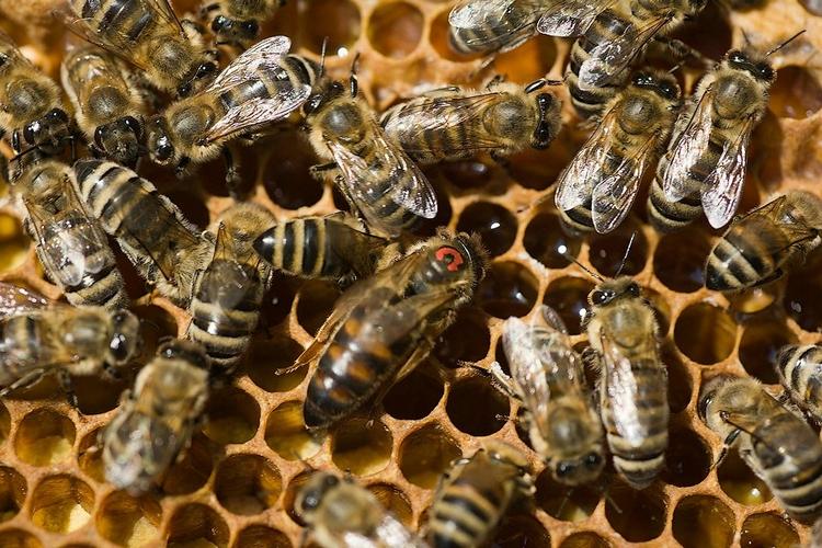 Пчелы и матка
