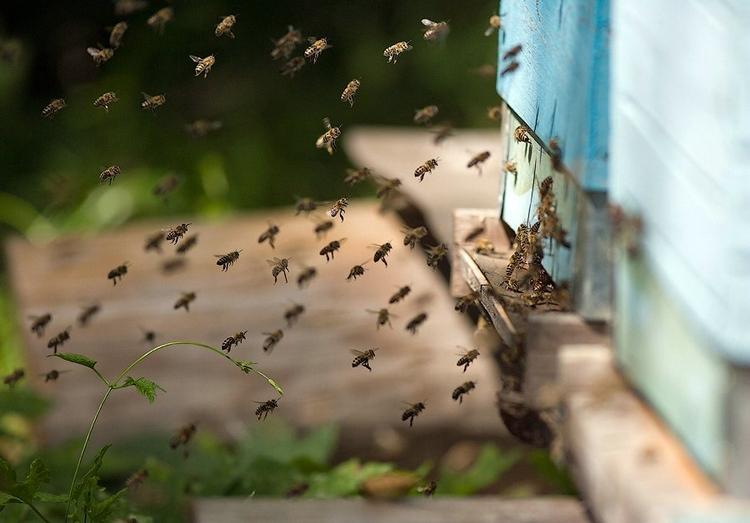 Пчелы в полете