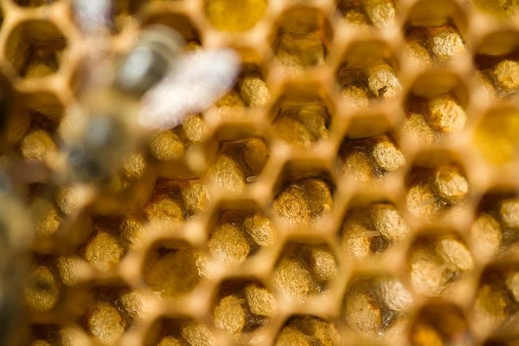 Личинки пчел в сотах