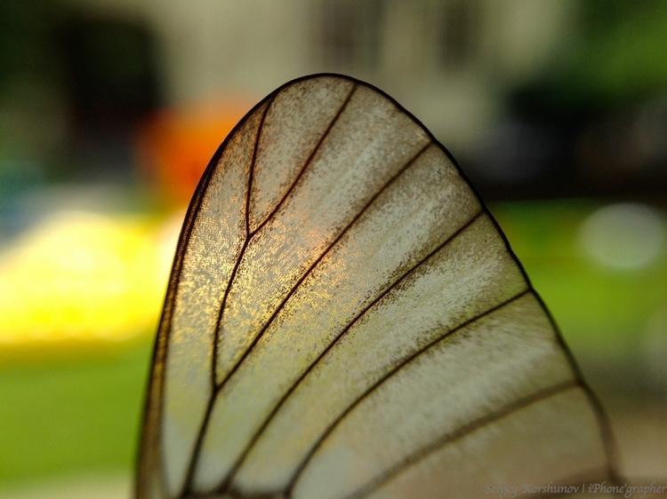 Макрообъектив iPhone. Крыло бабочки