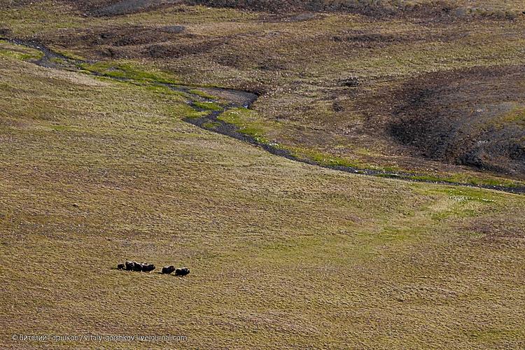 Овцебыки на реке Верхней Таймыре