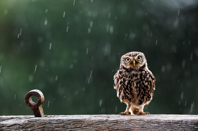 Сова под дождем. Фото: Craig Churchill