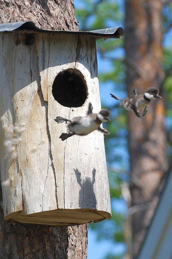 Учимся летать. Фото: naturen-ar-fantastisk.blogspot.com