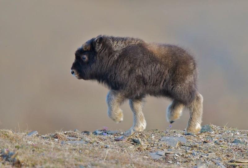 Теленок мускусного быка. Фото: Randy Kokesch