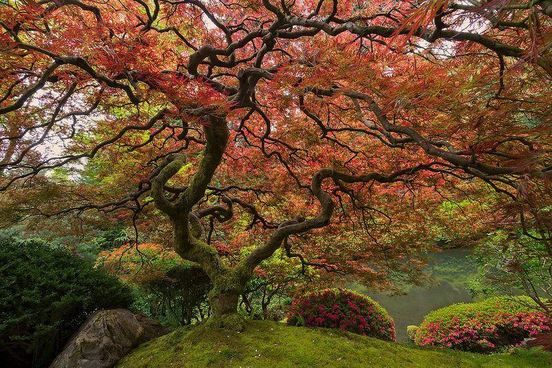 Знаменитые японские клены Портленда. Фото: SCOTT MCCRACKEN