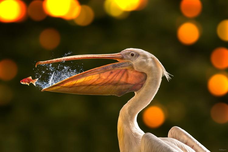 Пеликан с рыбкой. Фото: Geo Messmer