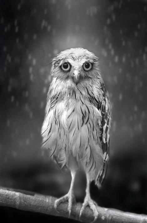 Сова под дождем. Фото: Sham Jolimie