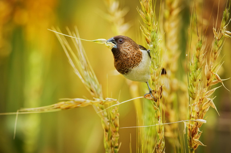 Птица в колосьях. Фото: Sue Hsu
