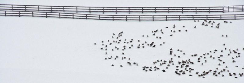 Стайка птиц на снегу. Фото: Dale Keiger