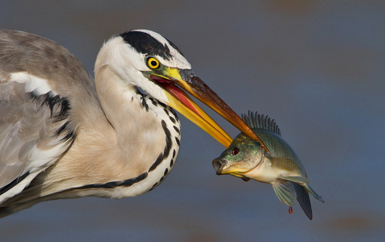 Птица с рыбой. Фото: Doron Hoffman