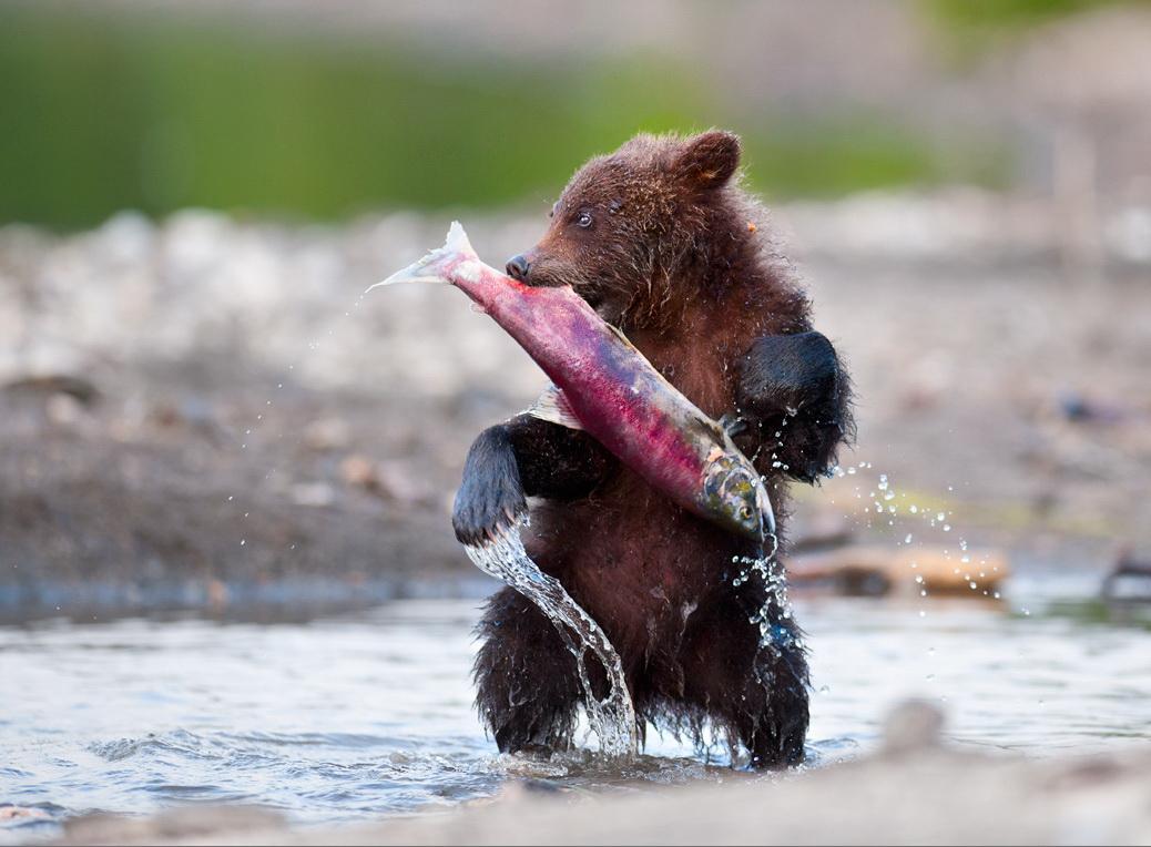Медведь с рыбой. Фото: Николай Зиновьев