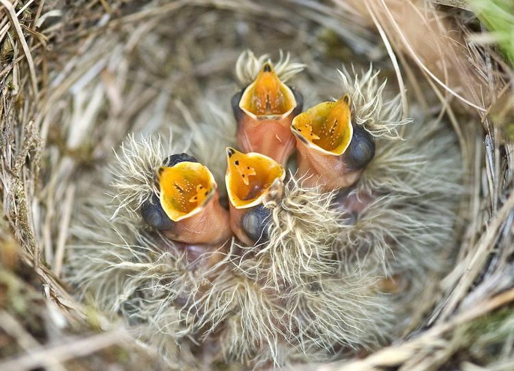 Птенцы. Фото: Gary Howells