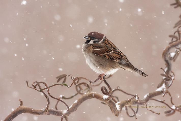 Воробей и снег. Фото: Henny Egdom van