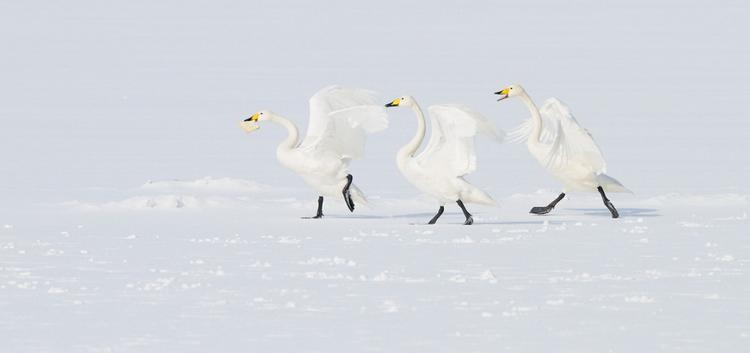 Лебеди. Фото: Harry Eggens