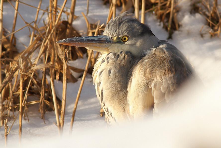 Птица в снегу.  Фото: Tom Kruissink
