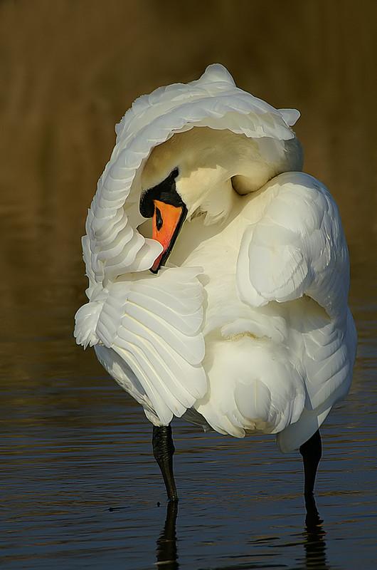 Лебедь-шипун. Фото: Tom Kruissink