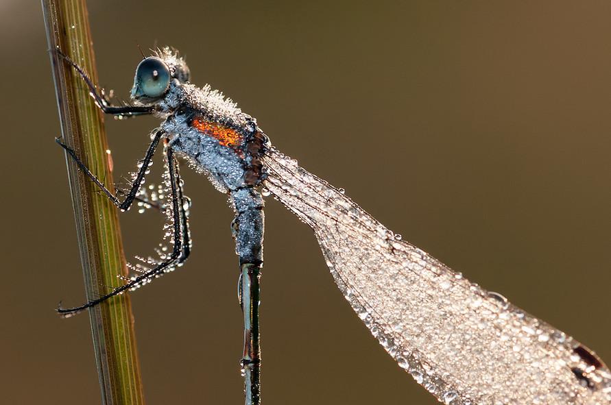 Стрекоза в росе.  Фото: Tom Kruissink