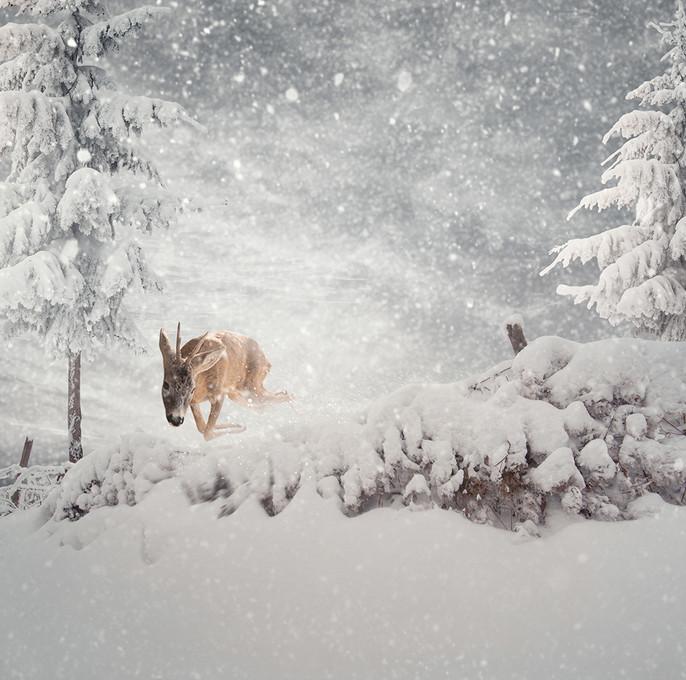Олень в зимнем лесу. Фото: Карас Йонут