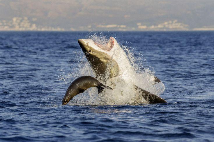 Морской котик избежал смерти от челюстей акулы у берегов Кейптауна в Южной Африке. Фото: David Jenkins, Caters News