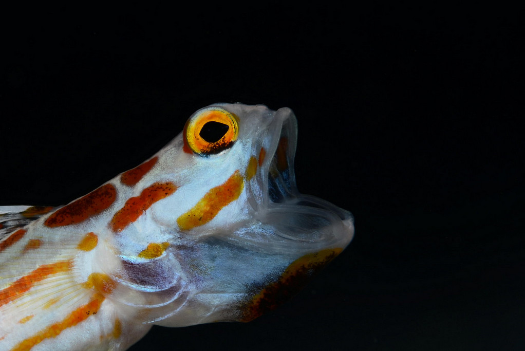 Фото: H-Shige. Рыбка с открытым ртом