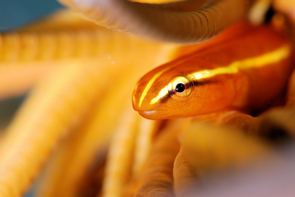 Фото: H-Shige. Рыбка золотого цвета