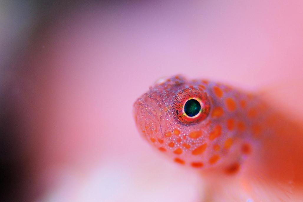 Фото: H-Shige. Розовая рыбка
