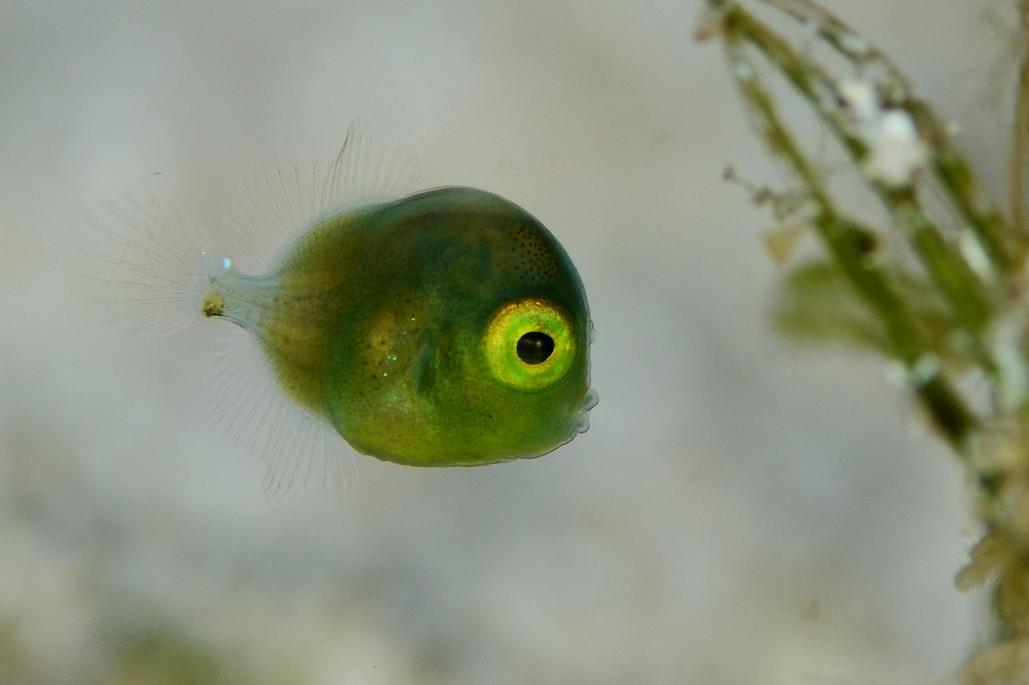 Фото: H-Shige. Маленькая зеленая рыбка