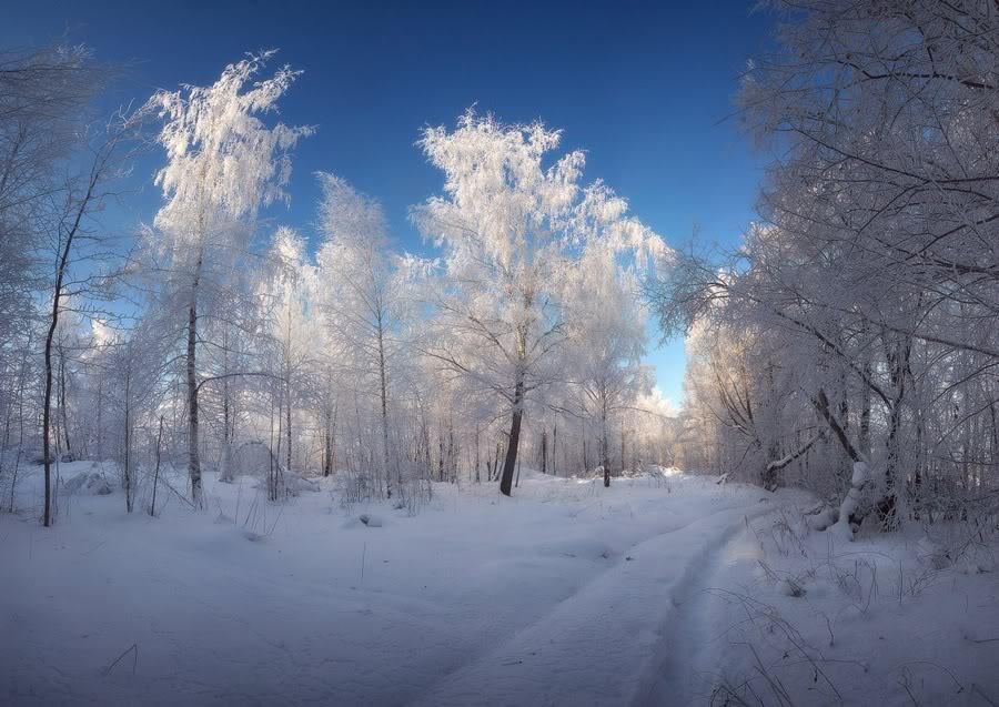 Деревья в инее ясным днем