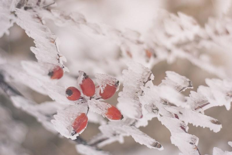 барбарис во льду