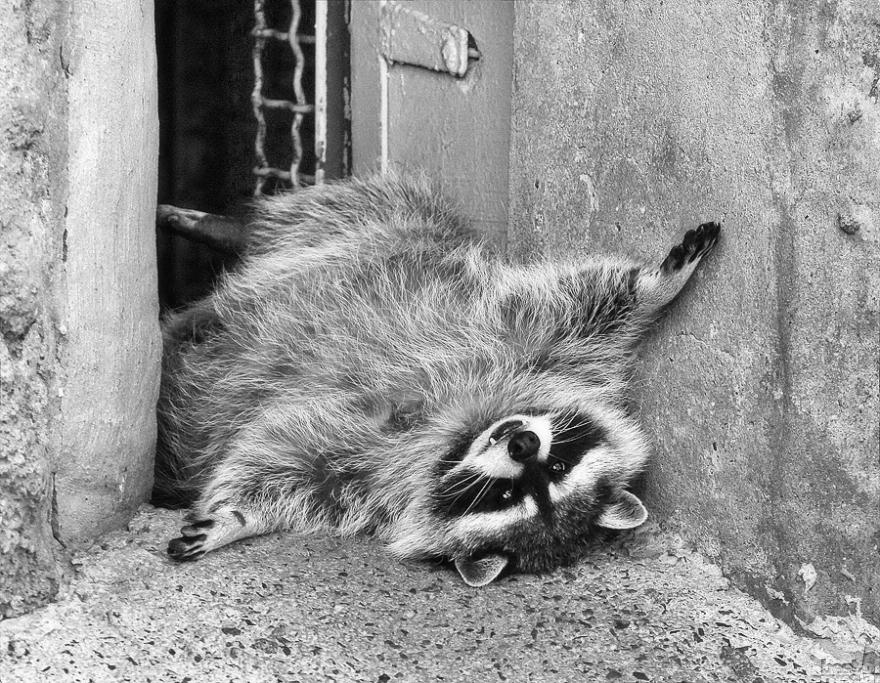 «Сиеста». Послеобеденный отдых в Московском зоопарке. Светлана Ромашева, город Москва