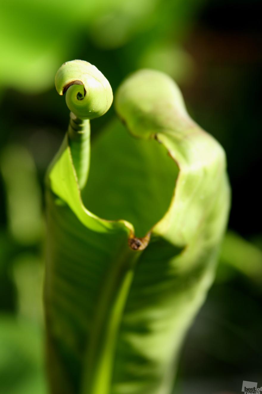 «Я приглашаю вас на вальс». Лист банановой пальмы. Альбина Алексеева, город Сочи