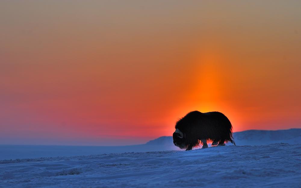 Полярная ночь и буйвол