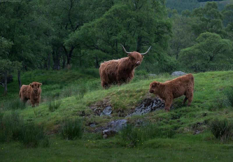 """знаменитые шотландские """"волосатые коровы"""""""