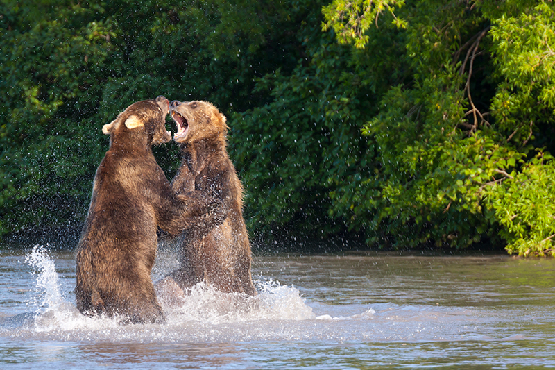 Камчатский бурый медведь. Курильское озеро