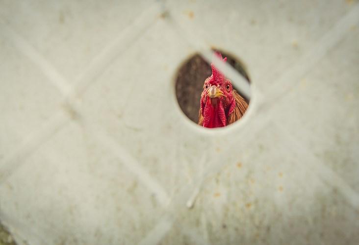 «Не подглядывай в курятник!» Автор - Наталья Драчинская