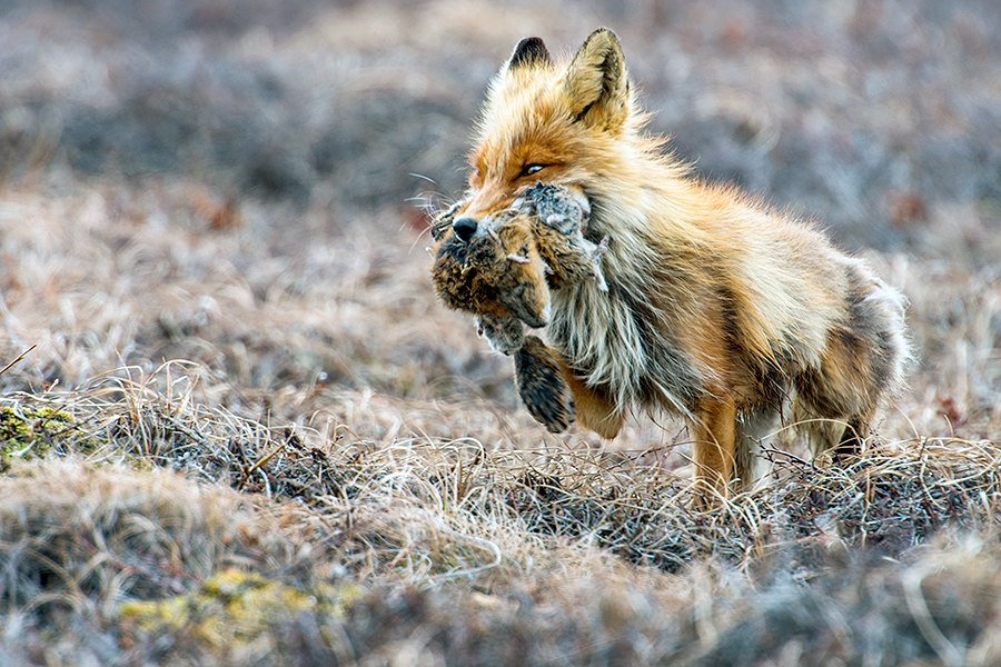 Семейство лис. Фото Ивана Кислова
