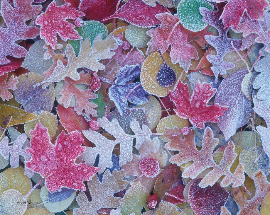 Листья, покрытые инеем. Фото: Scott Wheeler