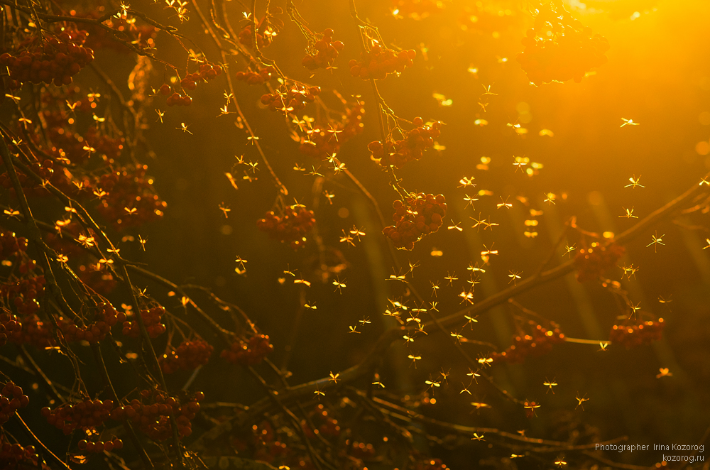 Комары возле рябины. Автор: Ирина Козорог