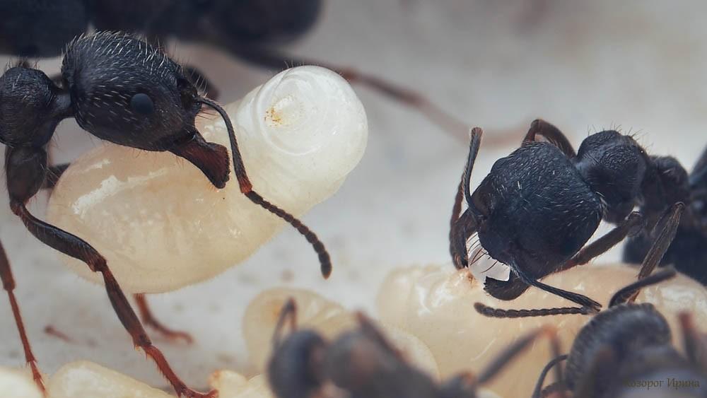 Кормление личинки муравья
