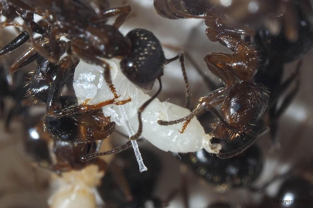процесс окукливания муравьев. Фото - Ирина Козорог