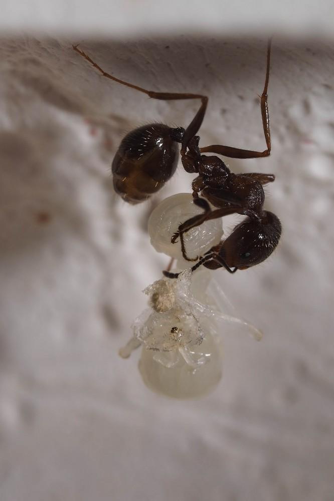 Личинка и муравей. Фото - Ирина Козорог