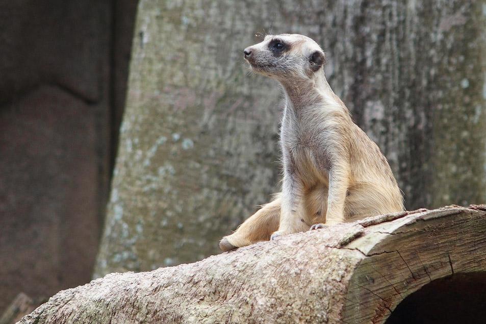 Сингапурский зоопарк, сурикат, тестовые фото OLYMPUS Stylus 1