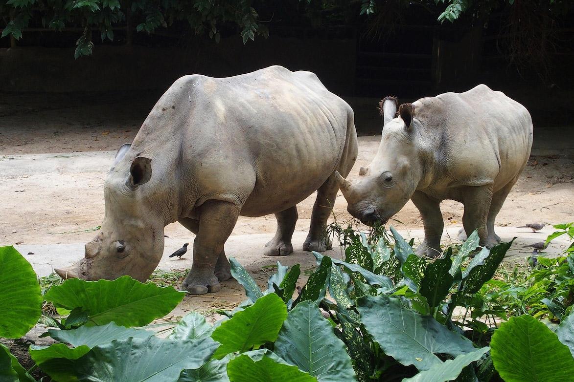 Сингапурский зоопарк, носороги, тестовые фото OLYMPUS Stylus 1