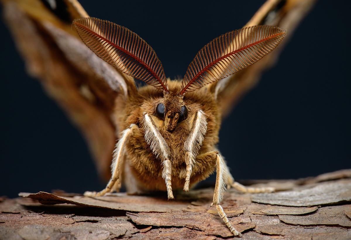 муравьиный лев обыкновенный фото