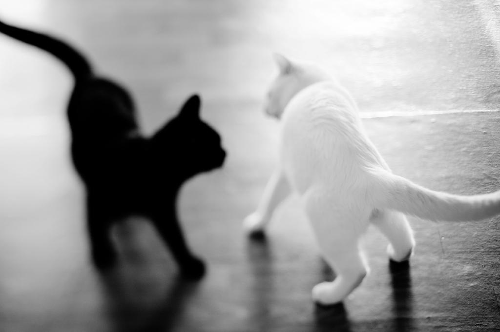 Картинки по запросу черный и белый кот